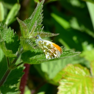 Male Orange-tip butterfly, Anthocharis cardamines