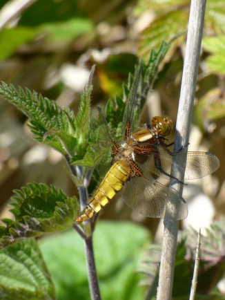 Female Broad-bodied Chaser dragonfly, Libellula depressa