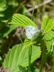 My first Green-vein White butterfly of 2015, Pieris napi