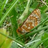 Marsh Fritillary, Euphydryas aurinia (wings closed)