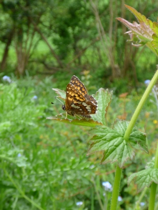 Duke of Burgundy butterfly, a photo from a couple of months ago