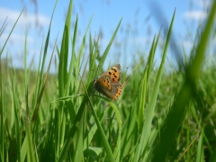 Small Copper butterfly (Lycaena phlaeas), seen on my walk to see the kestrels