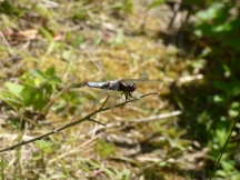 Broad-bodied Chaser dragonfly (male, Libellula depressa)