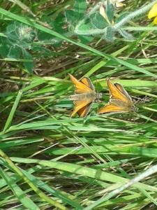 Small Skipper butterflies (Thymelicus sylvestris)