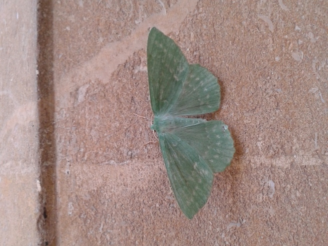 Large Emerald (Geometra papilionaria) found in one of the porches