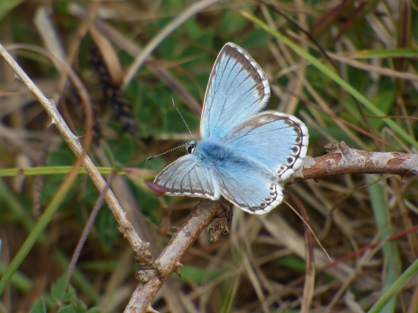 Chalkhill Blue butterfly (Polyommatus coridon) - male, upperside of wings