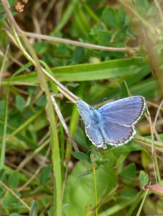 Silver-studded Blue butterfly (Plebejus argus) - male, upperside of wings