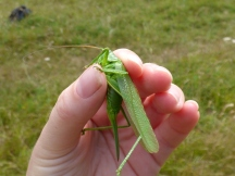 Great Green Bush Cricket (Tettigonia viridissima) - a female I think