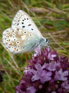 Chalkhill Blue butterfly (Polyommatus coridon) - male, underside of wings