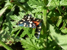Scarlet Tiger moths mating (Callimorpha dominula)