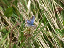 Common Blue butterfly (Polyommatus icarus), female. I think