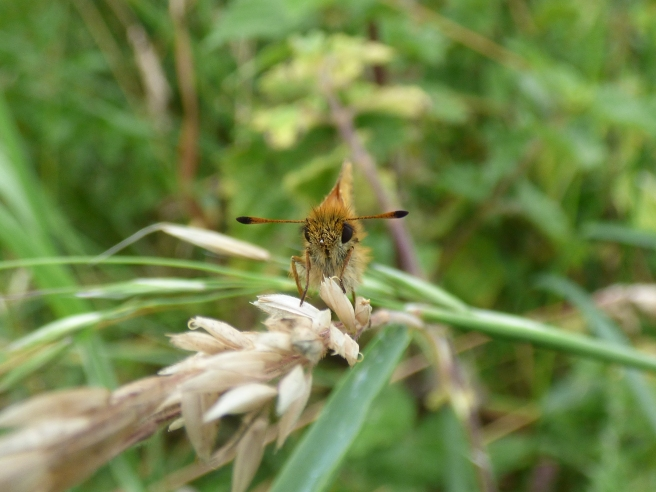 Essex Skipper butterfly (Thymelicus lineola) - note the black tips of the antennae