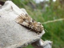 Dusky Sallow moth (Eremobia ochroleuca)