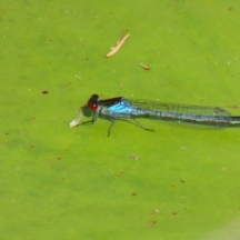 Red-eyed Damselfly (Erythromma najas)