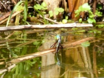 Emperor Dragonfly (Anax imperator), female ovipositing (laying eggs)