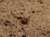 Wasp sp with bee sp prey