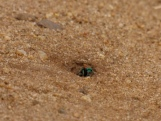 Ruby-tailed wasp sp (Chrysis)