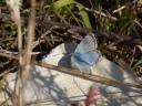 Chalkhill Blue butterfly (Polyommatus coridon), male upperside of wings