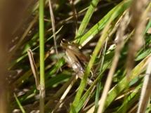 Roesel's Bush-Cricket (Metrioptera roeselii)