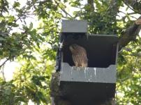 On the edge - Kestrel (Falco tinnunculus)
