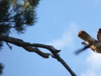 Take off! Common Buzzard (Buteo buteo)