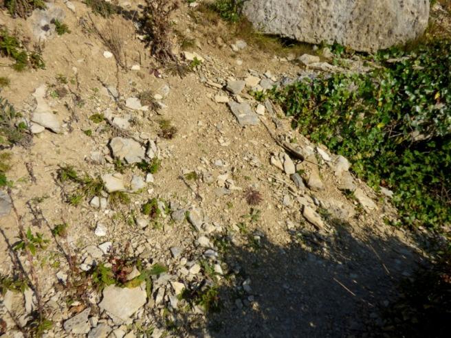 Spot the Grayling butterfly (Hipparchia semele)