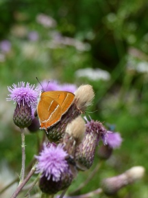 Brown Hairstreak butterfly (Thecla betulae)