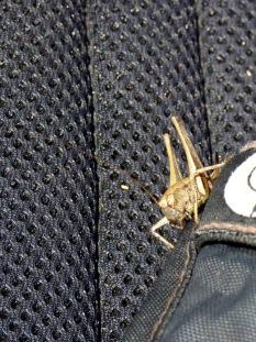A curious grasshopper (Orthoptera)