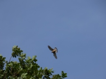 I think this is one of the fledgings practicing flying