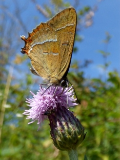 Brown Hairstreak butterly (Thecla betulae)