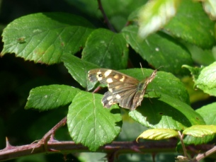 A very tatty Speckled Wood butterfly (Pararge aegeria)
