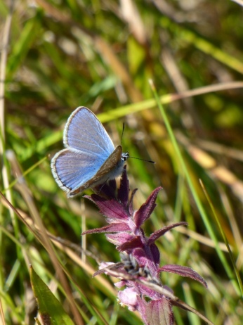 ID tip: note the clear white fringe at the edges of the wing (unlike Holly / Chalkhill / Adonis Blues)