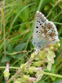 Chalkhill Blue butterfly (Polyommatus coridon)