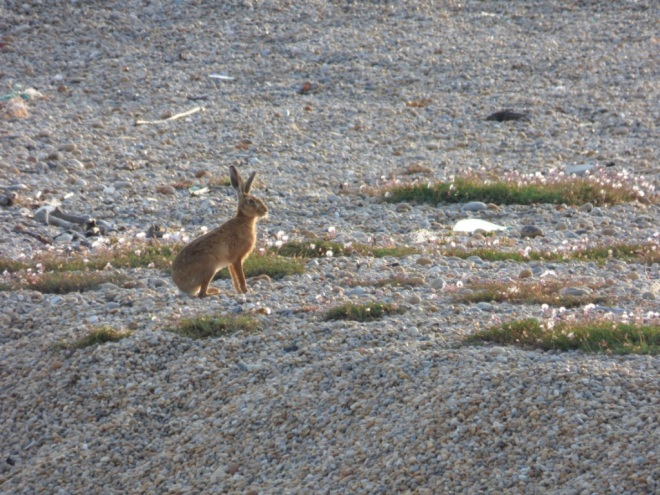 Brown / European Hare (Lepus europaeus)