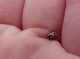 16-spot Ladybird (Tytthaspis 16-punctata)