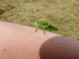 Great Green Bush Cricket (Tettigonia viridissima), male
