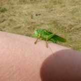 Great Green Bush Cricket (Tettigonia viridissima), male