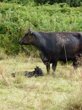 Very young calf (newborn perhaps?)