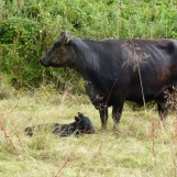 Very young calf (newborn perhaps?)