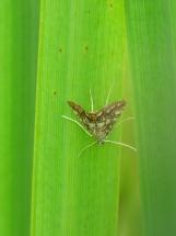 Brown China-mark (Elophila nymphaeata)
