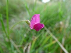 Grass Vetchling (Lathyrus nissolia)