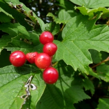Guelder Rose berries (Viburnum opulus)