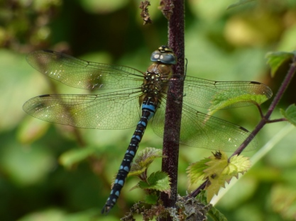 Migrant Hawker dragonfly (Aeshna mixta)