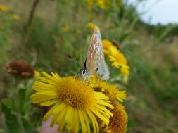 Common Blue butterflies (Polyommatus icarus), male and female mating