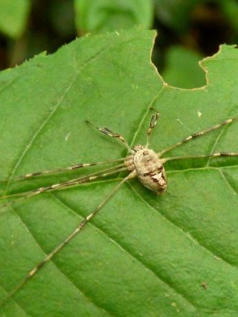 A resting harvestman (Opiliones)