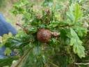 An Oak Gall