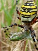 Wasp Spider (Argiope bruennichi) with grasshopper prey