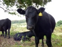 Nervous juvenile cow