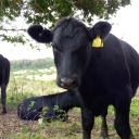 Nervous juvenile cow