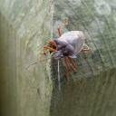 Red-legged Shieldbug (Pentatoma rufipes)